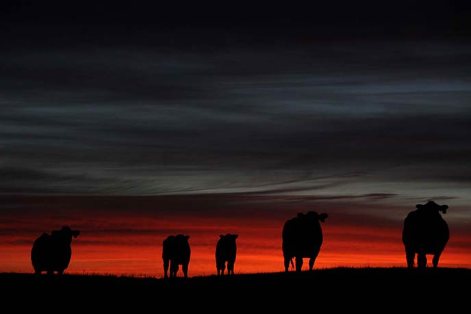 Cows and calves in a March sunrise